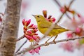 Cherry Blossoms and a Yellow Warbler-3020
