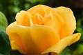 Creamy Yellow Rose