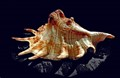 Shell - Octopus