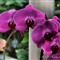 Orchid  060