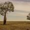 Australian Bottle Tree