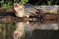 Pantanal croc 1