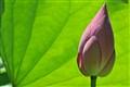 Lotus in Taiwan