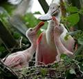 Roseate Spoonbill Babies (wild)
