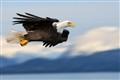 eagle_alaska_2014