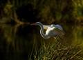 Egrets...... I've Had a Few.....