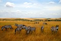 Zebras Grazing in the Maasai Mara National Reserve