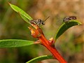 Native Bees in Confrontation