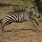 Zebra Jumping in Serengeti 2011