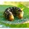 Catalpa sphinx caterpillar
