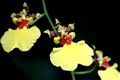 Orchid: Yellow Oncidium III
