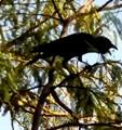 House Crow /CORVAS SPLENDENS