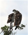 osprey_rain_small