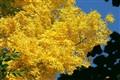 Autumn at the Manchurian walnut.