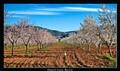 Blossom time, Murcia