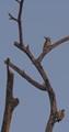 Scale-Two woodpeckers-on dead brach