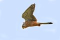 common kestrel hunting