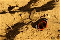 Tanning Butterfly