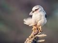 Black Shouldered Kite, Werribee