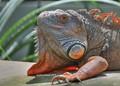 my_iguana_crop