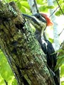 Pileated Peek-a-Boo