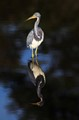 Tricolored Heron in Quiet Reflection