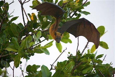 Giant fruit bat, Maldives