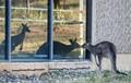 Kangaroo exploring its reflection