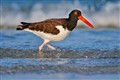 oyster catcher_8879