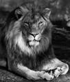 LionPortraitSitting