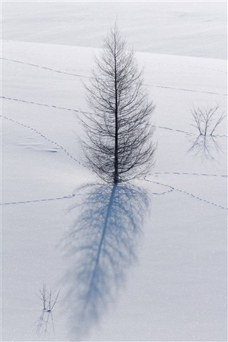 Lone Larch on the Snow