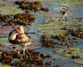 Jacana and chick