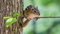 Eastern Chipmunk on a thin branch
