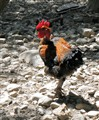Cock in the rocky Samaria ravine (Creta, GR)