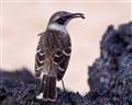 Galapagos Mockingbird, Ecuador