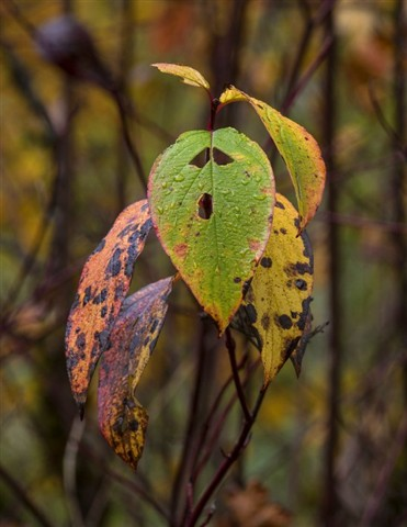 Elwha_Leaves_1_110212_reduced
