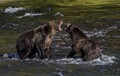 Grizzly Bear disagreement