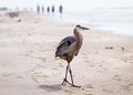 Heron Strolling the Beach