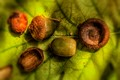 Acorns metamorphosis