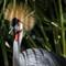 Grey Crowned Crane hiding