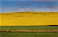 Hill of canola