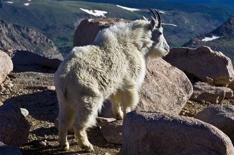 Rocky Mtn Goats1107_17163