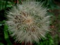 Taraxacum (Blowball)