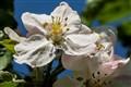 Æbleblomst-7395-Edit_edited-1