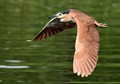 Night Heron over water