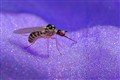 Dance fly - Empididae