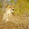 Sabi Cheetah - 1