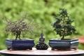 Two bonsai trees