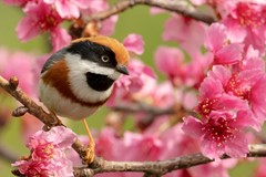 Red-headed Tit in cherry