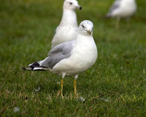 SeagullGroundFront1280_IMG_2244